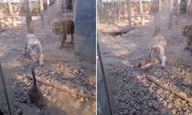 Hilarious video of a feisty goose chasing away tigers in their own enclosure goes viral