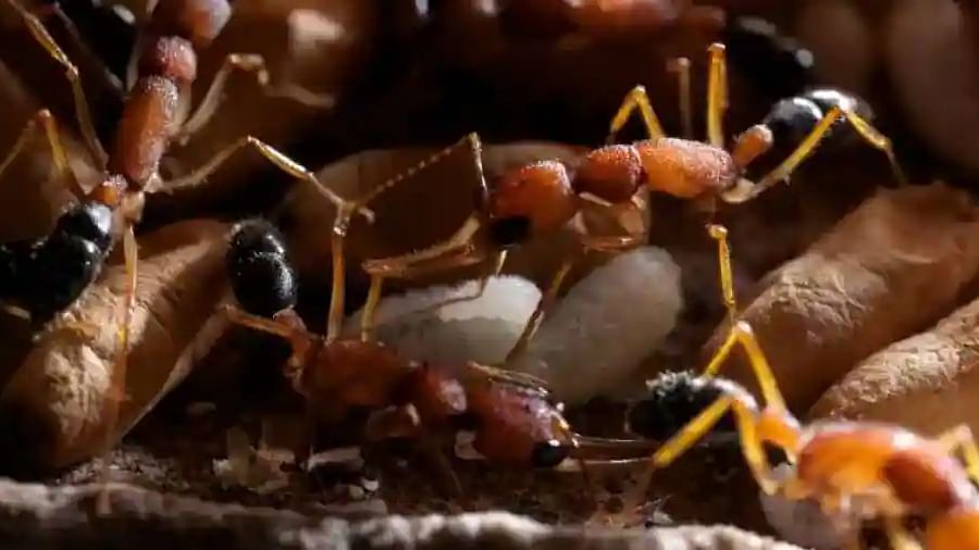 Meet Indian jumping ants, who can shrink and re-grow their brains