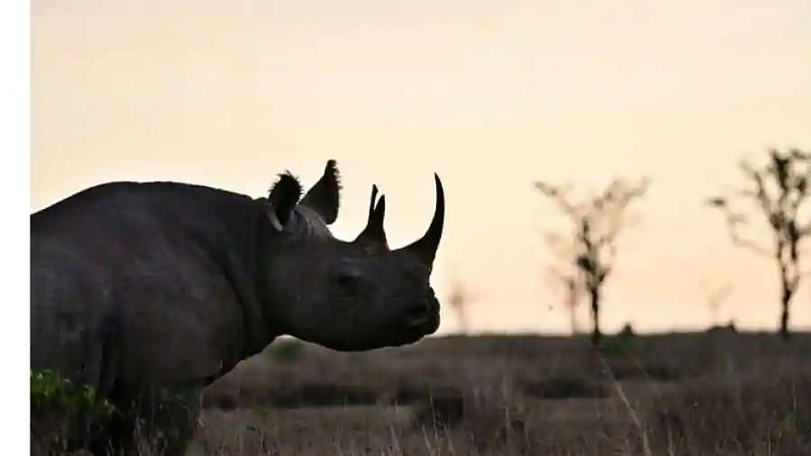 Do rhinos scare you? Well, this one was taller than a giraffe