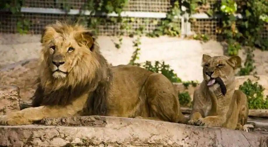 LA zoo euthanizes Hubert and Kalisa: Elderly lion couple killed so 'soulmates' don't have to live without each other