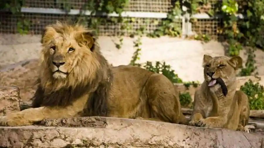 Chennai Zoo Lions infected with Delta variant of COVID-19, reveals genome sequencing
