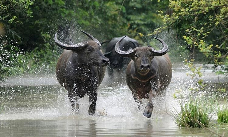 Video: Pakistani reporter Amin Hafeez interviews buffalo on Eid; here's what the buffalo replied