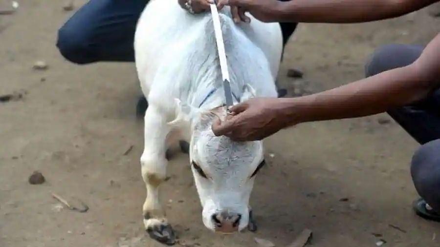 Bangladesh's dwarf cow becomes a media star, tourists flock for a glimpse