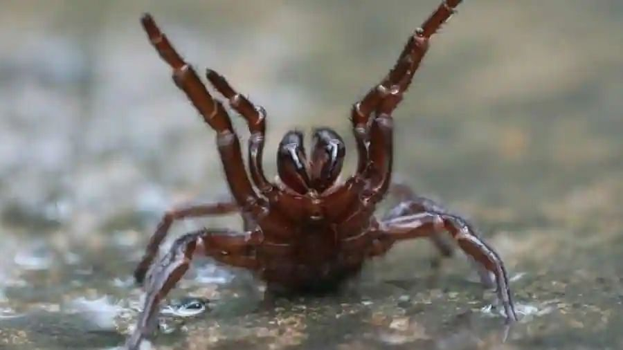 Repairing hearts with deadly spider venom? Scientists make unique discovery