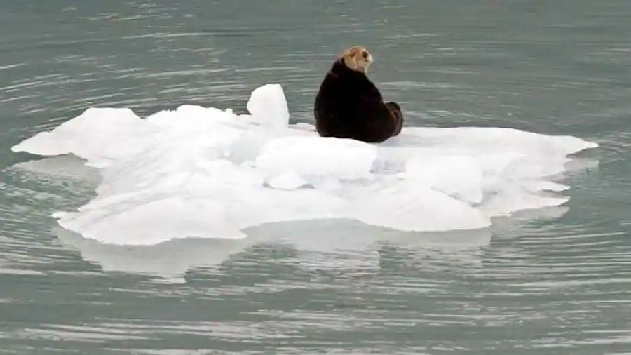 Scientists resolve mystery of why otters stay warm in cold surroundings