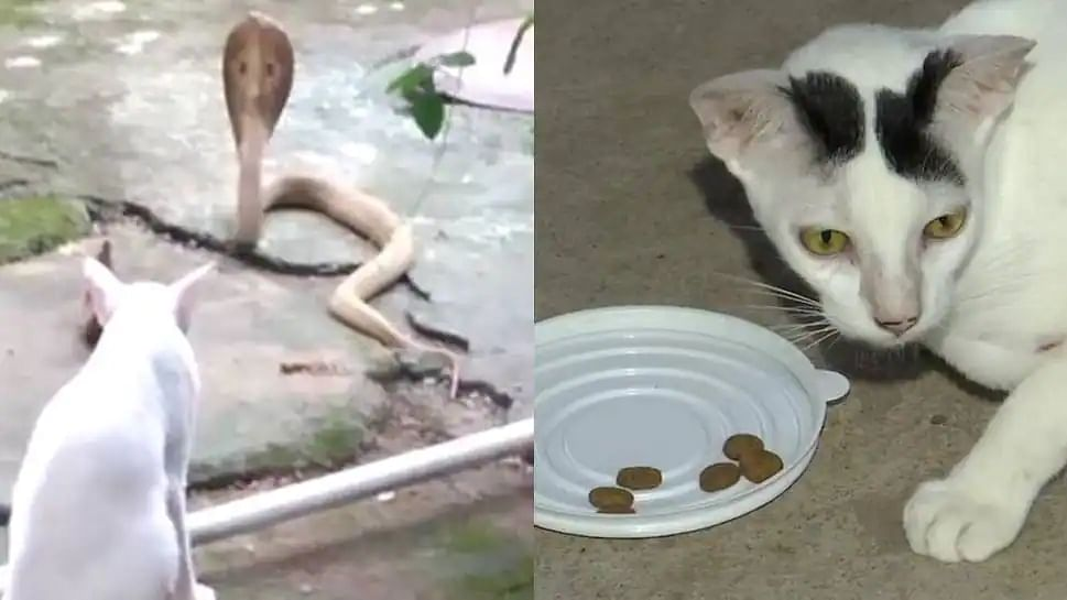 Brave Kitty: Pet cat stands guard against cobra for 30 mins to protect family
