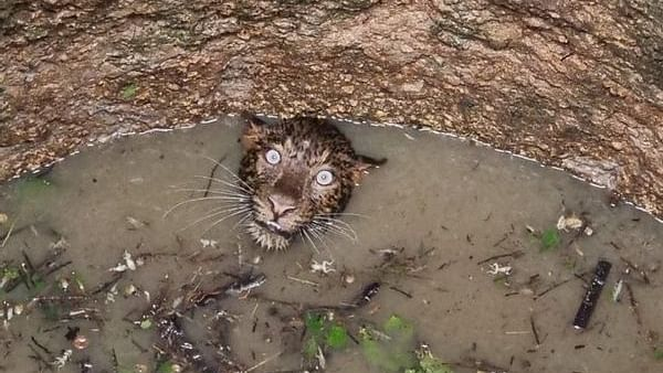 Eyes Never Lie: Stunning photo depicting a terrified leopard in Assam goes viral