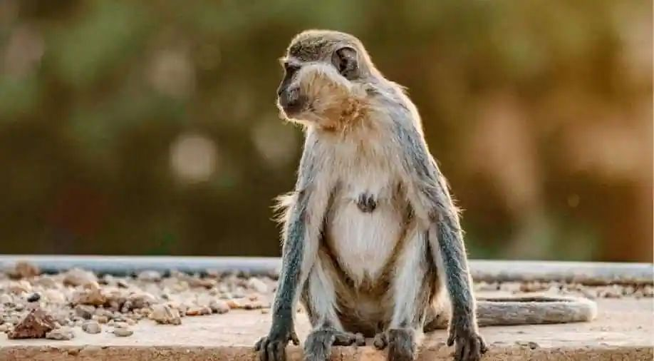 Bizarre! Monkey showers money from tree after snatching bag from lawyer with Rs 2 lakh in it