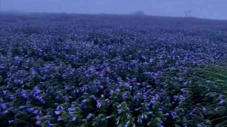 Neelakurinji flowers bloom after 12 years in Karnataka's Kodagu - glimpse of rare phenomenon