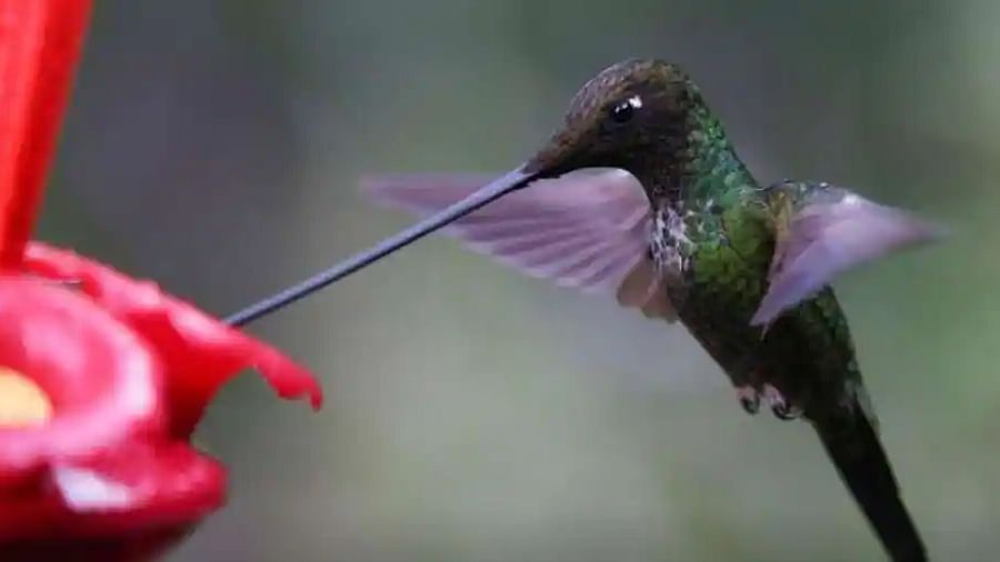 Female hummingbirds that look like males face less social harassment: Study