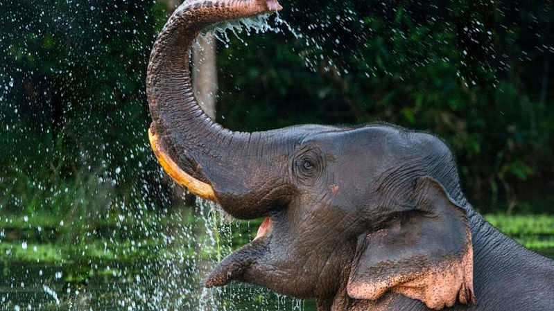 Sri Lankan elephants to now get biometric IDs, owners can't 'drink and ride'