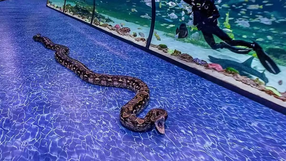 World's largest snake from Los Angeles is now in Abu Dhabi