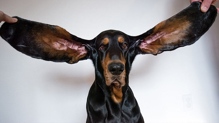 Dog enters Guinness for its extra long ears, precisely 34cm each