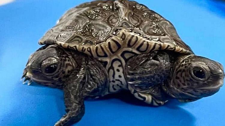 Two-headed, six-legged turtle born in Massachusetts