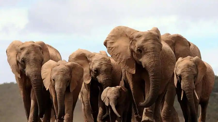 Elephants without tusks? The mammal evolves due to brutal poaching