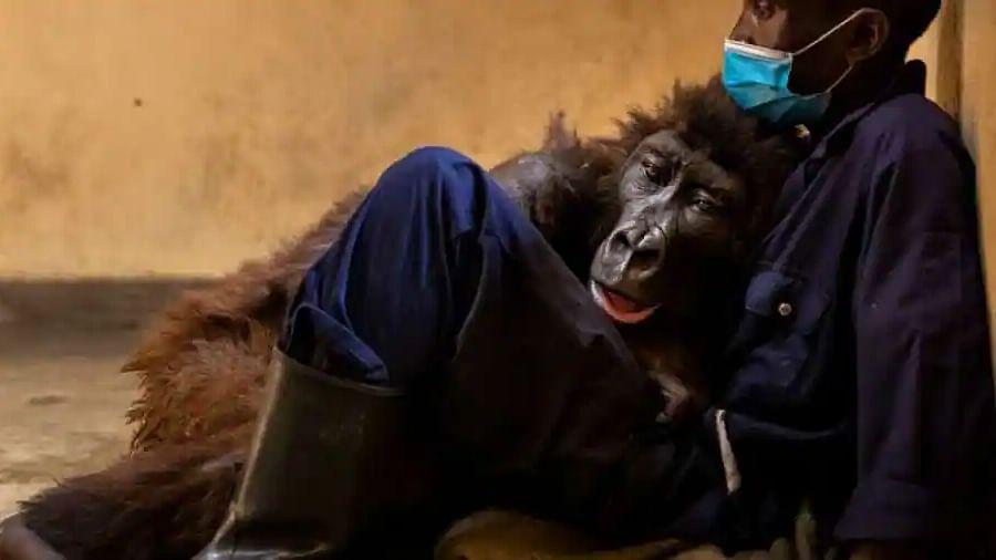 'Selfie' star mountain gorilla dies in the arms of his caretaker; Twitter weeps