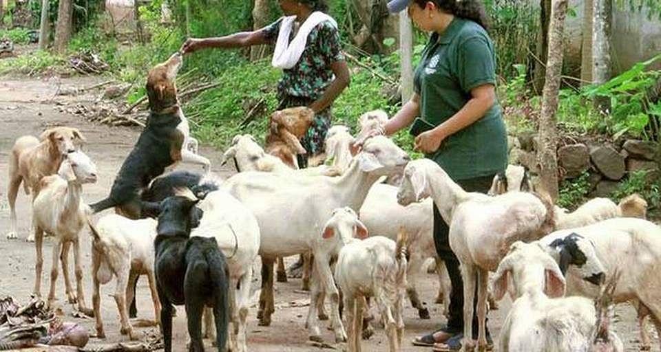 வெள்ளத்தில் சிக்கிய 47 ஆடுகளைக் காப்பாற்றிய 5 நாய்கள் : கேரளாவில் நடந்த நெகிழ்ச்சி சம்பவம் !