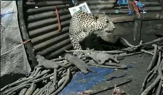 மகாராஷ்டிராவில் குடிசைக்குள் குட்டிகளை ஈன்ற சிறுத்தை - வன ஆக்கிரமிப்பால் ஏற்பட்ட நிலை! #ViralVideo