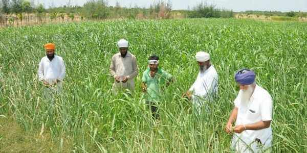 Farmers in Punjab to plant around 25% paddy with DSR technology
