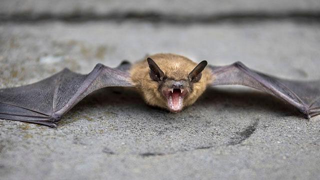 Hombre muere por rabia luego de despertar con un murciélago en el cuello