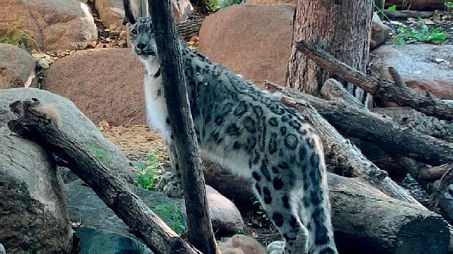 Muere leopardo en zoológico de EU; presentaba síntomas de Covid-19
