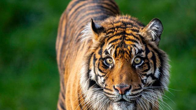 Tigre en peligro de extinción mata a la hembra con la que debía aparearse