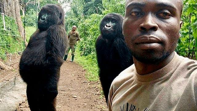 Gorila que posó en una selfie, muere a los 14 años de edad