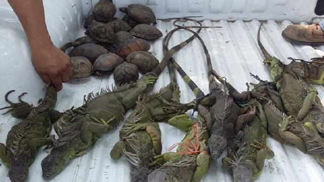 Asegura Profepa 26 tortugas e iguanas verdes en el mercado municipal de Tuxtla Chico
