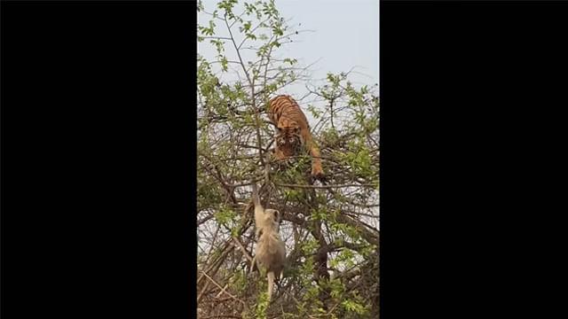 Video: Con astucia, un mono y su cría se salvan del ataque de un tigre