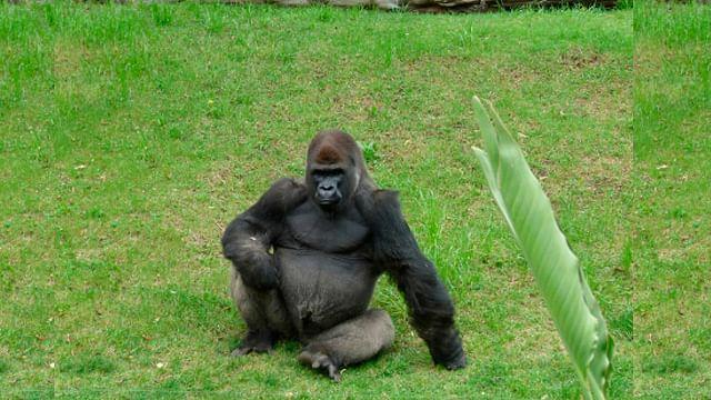 """Muere """"Bantú"""" el único macho ejemplar de Gorila de Tierras Bajas Occidentales en México"""