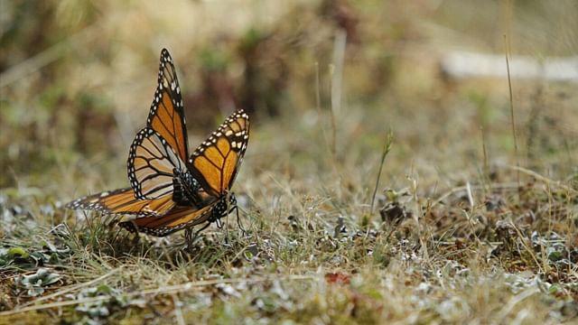 Arranca reforestación el Sierra Chincua previo al arribo de mariposas monarca