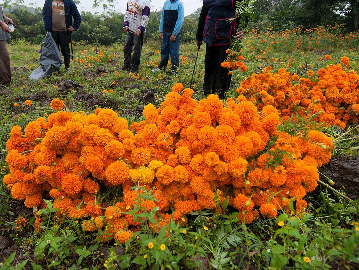 Michoacán, líder nacional en producción de cempasúchil y pata de león: Sedrua