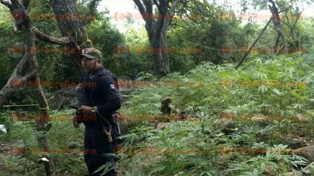 Aseguran 15 plantíos de marihuana en Michoacán, tras balacera contra gatilleros