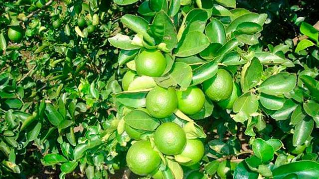 Michoacán, número uno en México en producción de limón