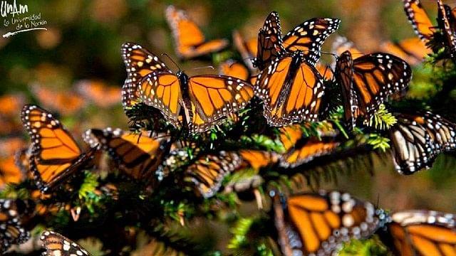 Migración de la mariposa monarca en riesgo por tala de árboles
