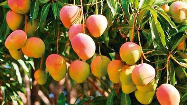 Exportar más de 84 mil toneladas de mango, meta 2019: Sedrua
