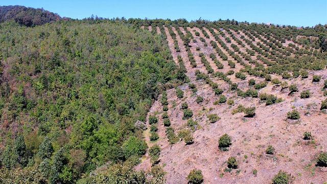 Suman 530 hectáreas desmanteladas por cambio de uso de suelo ilegal, en Michoacán