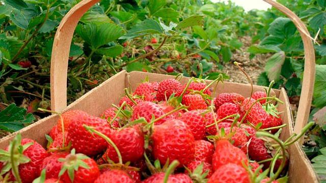 Exportación de berries michoacanos supera a la de aguacate en EU