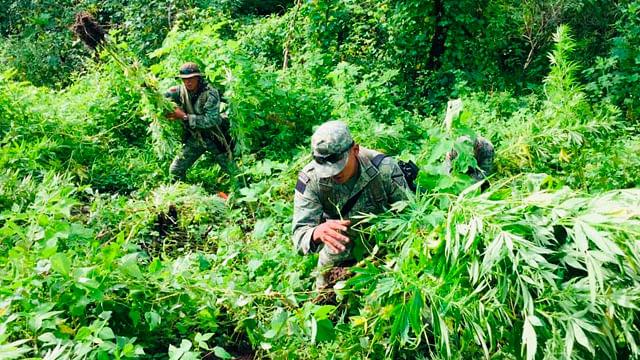 Localizan más plantíos de marihuana en Tzitzio; son destruidos