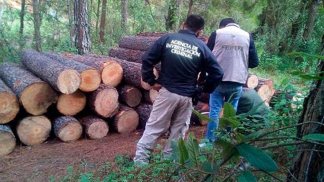 Investigan tala ilegal en la zona de la Monarca en Michoacán