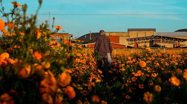 Producción de cempasúchil bajó 40% en Copándaro, Michoacán