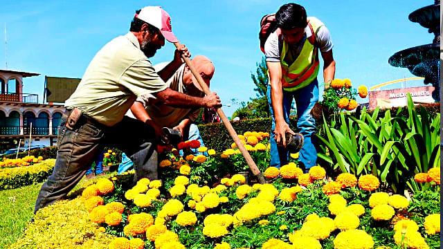 Embellecen camellones y glorietas de Uruapan con flores de cempasúchil