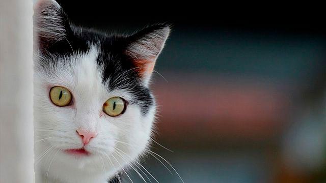 Crean traductor de maullidos para entender a tu gato