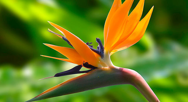 Michoacán, líder nacional en la producción de flor Ave de paraíso