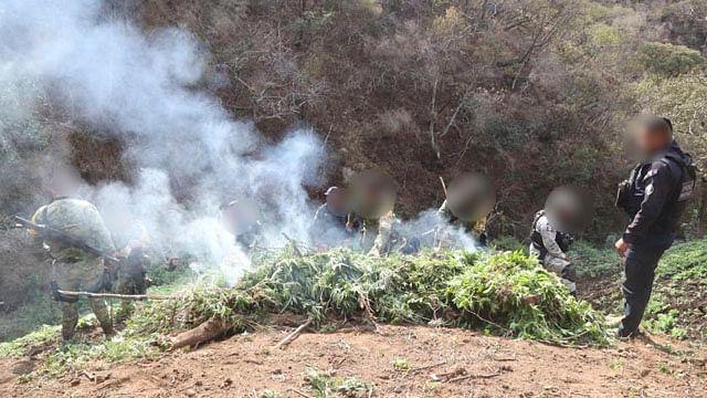 Destruyen ocho mil 400 plantas de mariguana en municipio de Michoacán