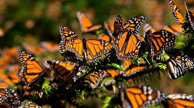 Disminuye 26% presencia de mariposas Monarca en Michoacán y Edomex