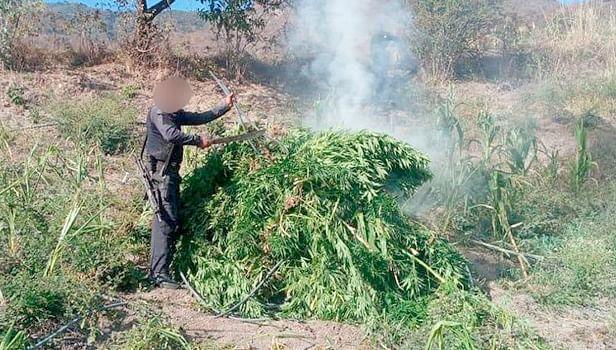 Destruyen 3 mil 500 plantas de marihuana, en Charo