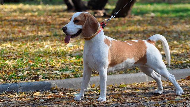 Perros detectan Covid-19 con un 94% de precisión, en Alemania