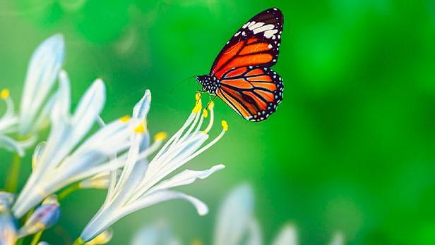Degradación de los bosques, factor en menor incidencia de mariposas Monarca