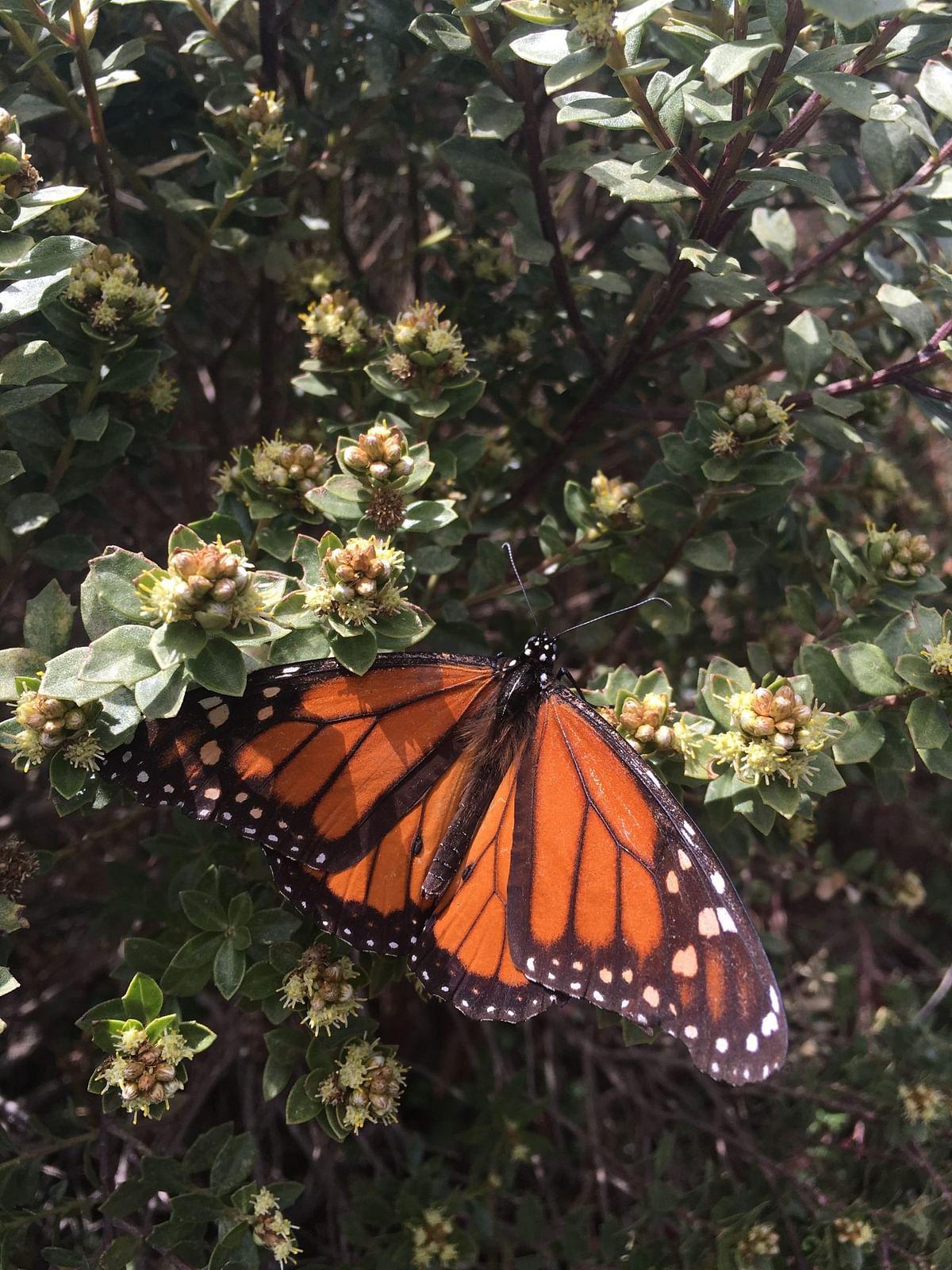 Mariposa monarca (Foto Cortesía)